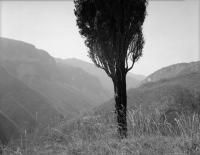 Tree_Cardosa.jpg